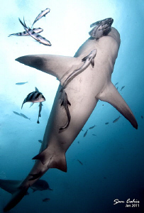The Roman Cross - This 3m female bull shark attempts the ... by Sam Cahir 